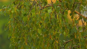 Branches a birch under a summer rain.  stock video footage