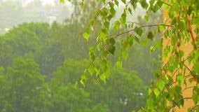 Branches a birch under a summer rain stock video footage