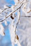 Branches of a birch with white brilliant snow and hoarfrost Stock Images