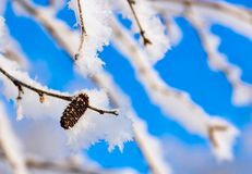 Branches of a birch with white brilliant snow and hoarfrost Stock Image
