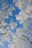 Branches of birches in the frost. Against of a clear blue sky Stock Images