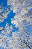 Branches of birches in the frost. Against of a clear blue sky Royalty Free Stock Image
