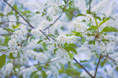 Branches of bird cherry. Stock Image