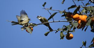 The branches of the birds Stock Images
