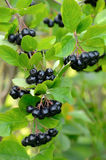 Branches of black chokeberry Stock Photography