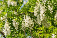 Branches of the black locust Robinia pseudoacacia. In flowers Royalty Free Stock Images