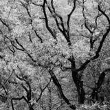Branches black white Royalty Free Stock Photo