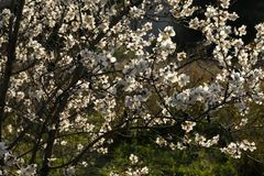 Branches of a blooming almond tree in early spring. Royalty Free Stock Photography