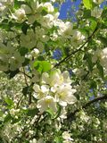 с русс branches of flowering Apple tree with fragrant white flowers in green leaves royalty free stock image