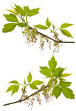 Branches of blooming ash-leaved maple Royalty Free Stock Photo