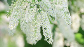 Branches of blooming bird cherry tree with white flowers. Branches of a blooming bird cherry tree with white flowers stock video