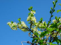 Branches of blooming cherry plums in the early spring in the garden. royalty free stock images