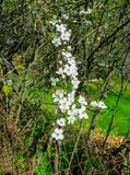 Branches of blooming cherry plums in the early spring in the garden. stock photography