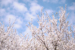 Branches of Blooming Cherry Tree with blue sky Stock Images