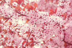 Branches of blooming cherry tree Stock Photo