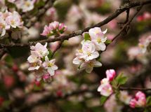 Branches of blooming flowers of fruit trees in spring garden Stock Image