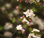 Branches of blooming flowers of fruit trees in spring garden Royalty Free Stock Photo