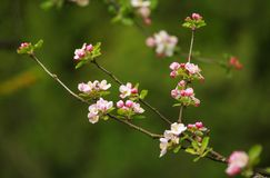 Branches of blooming flowers of fruit trees in spring garden Royalty Free Stock Photography