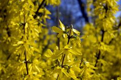 The branches of blooming Forsythia Intermedia. Covered with bright yellow flowers growing in the park stock photography