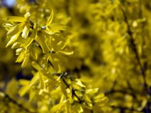 The branches of blooming Forsythia Intermedia. Covered with bright yellow flowers growing in the park royalty free stock photography