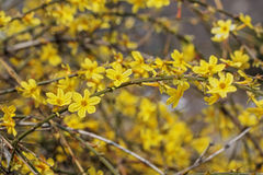 Branches of blooming forsythia with selected focus Stock Photography