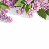 Branches of blooming lilacs Royalty Free Stock Images