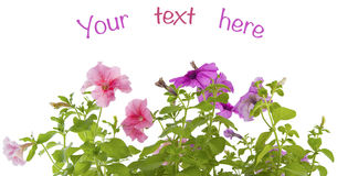 Branches blooming petunias on a white background. Stock Images