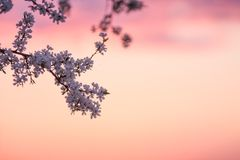 A copy space with a blooming plum tree on the sunset sky background stock photos