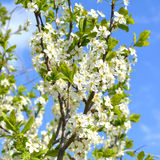 Branches of blooming plum tree with white flowers against blue sky Royalty Free Stock Image