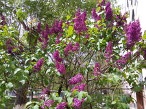 Branches of blooming spring lilac in the city yard Stock Images