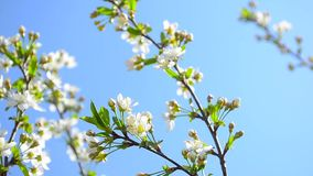 Branches of blooming white cherry blossom in garden swinging on the background of blue sky stock video footage