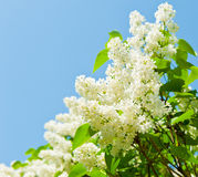 Branches of blooming white lilac against blue sky Stock Images