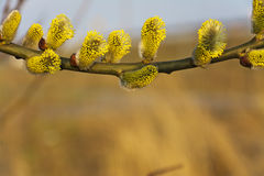 Branches of blooming yellow catkins Royalty Free Stock Image