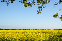 Branches at blossom rapeseed field Royalty Free Stock Photo