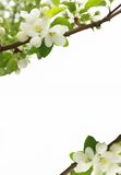 Branches of a blossoming apple-tree. Blossoming branches of an apple-tree on a white background Stock Images