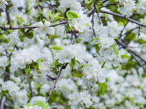 Branches of a blossoming Apple tree Royalty Free Stock Photos