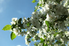 Branches of a blossoming apple tree against the blue sky, close up Stock Photography