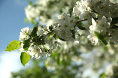 Branches of a blossoming apple tree against the blue sky, close up Royalty Free Stock Photo