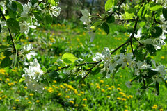 Branches of blossoming Apple tree on background of green meadow Stock Photos