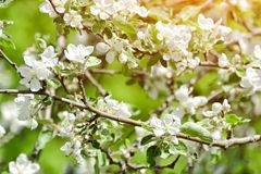 Branches of a blossoming apple tree. Sunny day.  Stock Photos