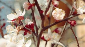 Branches of blossoming apple tree with white flowers and half-open buds stock video footage