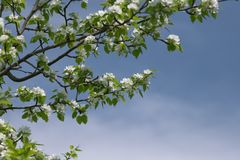 Branches of a blossoming apple trees. royalty free stock image