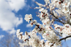 Branches of a blossoming apricot on a blurred blue sky backgroun Stock Photos