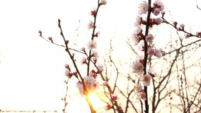Branches of blossoming apricot tree or cherry tree, in sunset swinging in wind in garden. Back lit. Close-up.