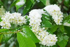 Branches of a blossoming bird cherry covered with snow Stock Photo