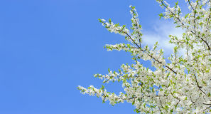 Branches of blossoming cherry on blue sky background. Branches of blooming cherry tree with many flowers over blue sky in spring warm bright sunny day Royalty Free Stock Photography