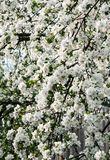 Branches of a blossoming cherry tree. Royalty Free Stock Images