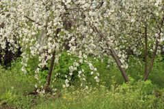 Branches of the blossoming cherry tree Stock Image