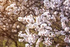 Branches of a blossoming cherry tree in spring in an orchard stock photography