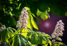 Branches of blossoming chestnut tree Stock Images